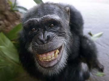 Chimpanzee_AP_360_12